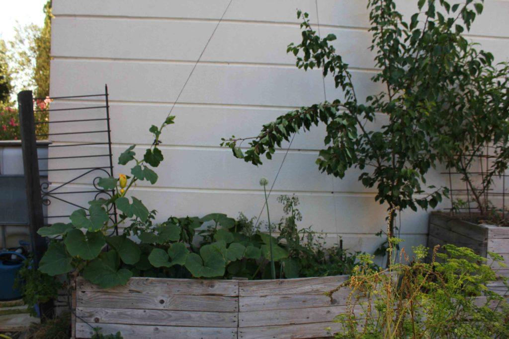 exemple de cultures à plusieurs strates végétales, arbres fruitiers avec courge grimpante et des plantes herbacées au niveau du sol