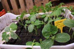 semis en motte dans une serre d'un jardin partagé