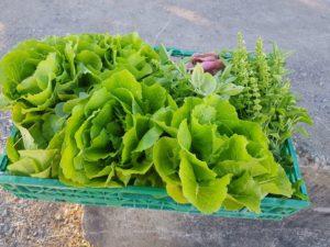 Salades récoltées dans les jardins potagers d'entreprise, pour les salariés