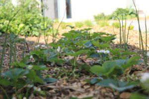 fraisiers et oignons plantés dans un potager d'entreprise