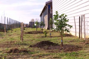 les premiers arbres sont implantés au potager d'entreprise, ici des agrumes qui profiteront de la chaleur réverbérée par le mur en tôle
