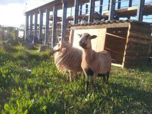 couple de moutons, un jeune mouton ouessant et une brebis cameroun près de leur abri en bois de dosses, dans la micro-ferme d'entreprise