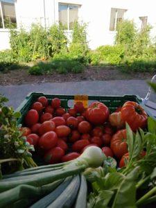 caissette contenant des récoltes de tomates, oignons, basilics, avec un jardin mandala en fond