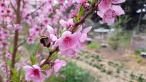 insecte pollinisateur butinant des fleurs de pêcher au début du printemps